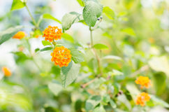 Lantana or Wild sage or Cloth of gold Stock Images