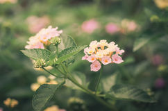 Lantana, Wild sage, Cloth of gold vintage Royalty Free Stock Photo