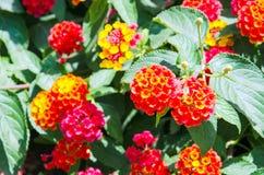 Lantanabloemen Royalty-vrije Stock Afbeeldingen