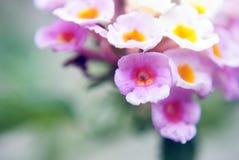 Lantanabloemen Stock Fotografie