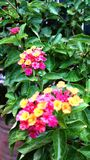 Lantanablommaväxter Royaltyfria Foton