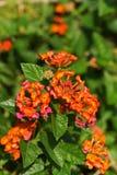 Lantanablume im Garten Lizenzfreie Stockfotos