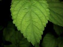 LantanaCamara Leaf Royaltyfri Bild
