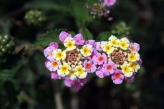 Lantanacamara - Twee heldere lichtrose bloemen met gele vlekken in centrum op de donkergroene achtergrond stock afbeelding