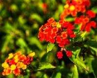 Lantanacamara in volledige bloei Stock Foto