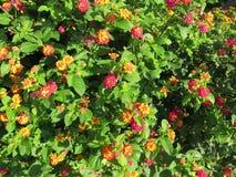 Lantara Camara flower Royalty Free Stock Images