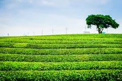 Lantbruk för grönt te i Jeju, Sydkorea Royaltyfri Foto