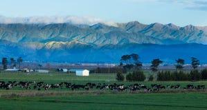 Lantbruk Nya Zeeland arkivbilder