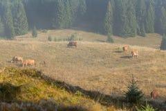 Lantbrukland för svart skog för att beta kor Royaltyfria Foton