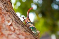 Lantern Bug Royalty Free Stock Image