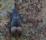 Lantern bug Stock Photo