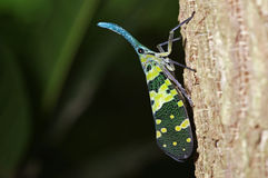 Lantern bug Royalty Free Stock Photos