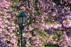 Lantern among cherry blossom royalty free stock photography
