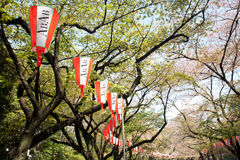 Lantern and cherry blossom in Tokyo royalty free stock images
