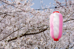 Lantern and cherry blossoms Stock Images