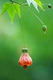 The lantern flower stock image