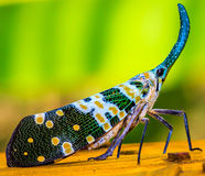 The Lantern Fly Stock Image