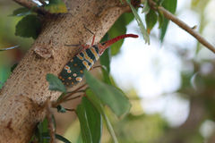 Lantern fly, the insect on the tree Royalty Free Stock Photo