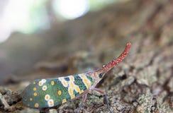 Lantern fly lantern bug, Pyrops sultana Stock Images