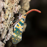 Lantern Fly Stock Image
