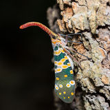 Lantern Fly Stock Photos