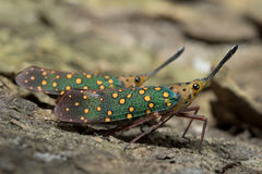 Lantern Fly in Thailand. Stock Image