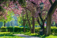 Lantern in the park among cherry blossom stock photography