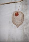 Lantern seed Stock Image