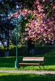 Lantern in under the branches of sakura tree. Cherry blossom in city park. wooden bench and lantern under the branches of Sakura tree royalty free stock photography