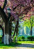 Lantern in under the branches of sakura tree. Cherry blossom in city park. wooden bench and lantern under the branches of Sakura tree royalty free stock image