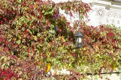 Lantern on the wall twined around with ivy royalty free stock photos