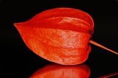 Alkekengi del physalis della lanterna giapponese Immagine Stock