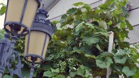 Lanterna decorativa contra um fundo de uvas verdes video estoque