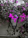 Lanterna della via circondata dai fiori rosa della buganvillea fotografia stock libera da diritti