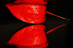 Alkekengi cinese del physalis della lanterna Fotografie Stock Libere da Diritti