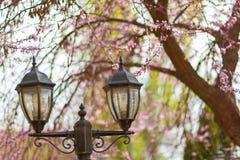 Lanternas da rua com a árvore de florescência de sakura foto de stock royalty free
