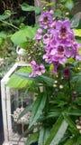Lanterne avec des angelonias Photographie stock libre de droits