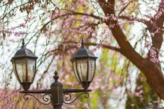 Lanterne della via con l'albero di fioritura di sakura fotografia stock libera da diritti