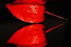 Alkekengi chinois de physalis de lanterne Photos libres de droits
