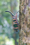 Lanternflies昆虫,在树的秀丽昆虫 图库摄影