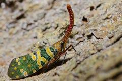 Lanternflies красивое, черепашки фонарика, Fulgoridae Стоковые Изображения