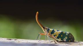 Lanternflies красивое, черепашки фонарика, Fulgoridae Стоковая Фотография