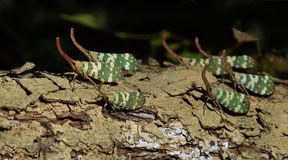 Lanternflies красивое, черепашки фонарика, Fulgoridae Стоковые Фотографии RF