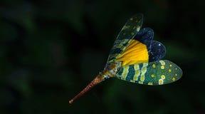 Lanternflies красивое, черепашки фонарика, Fulgoridae Стоковые Изображения RF