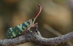 Lanternflies красивое, черепашки фонарика, Fulgoridae Стоковое Изображение