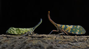 Lanternflies красивое, черепашки фонарика, Fulgoridae Стоковая Фотография RF