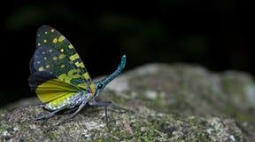 Lanternflies красивое, черепашки фонарика, Fulgoridae Стоковое фото RF