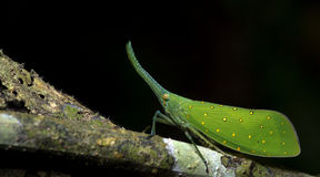 Lanternflies beau, insectes de lanterne, Fulgoridae images libres de droits
