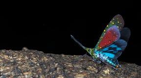 Lanternflies Beautiful, Lantern Bugs, Fulgoridae Stock Photography