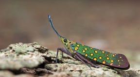 Lanternflies Beautiful, Lantern Bugs, Fulgoridae Stock Photos